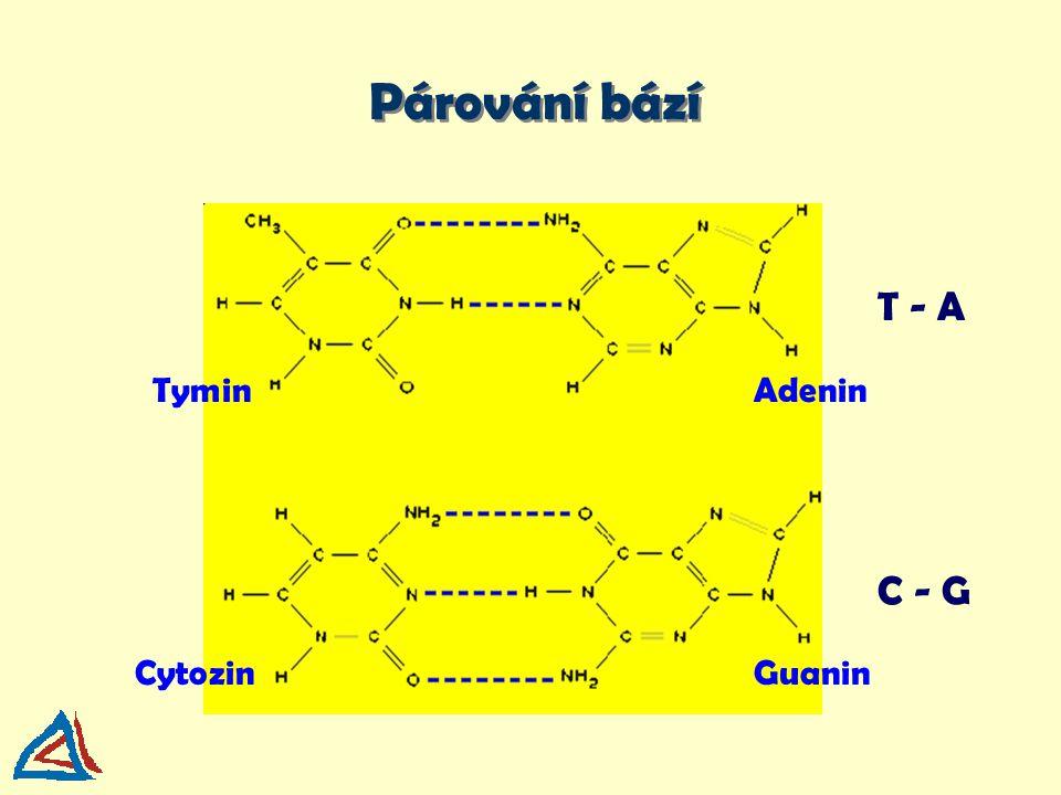 Párování bází T - A Tymin Adenin C - G Cytozin Guanin