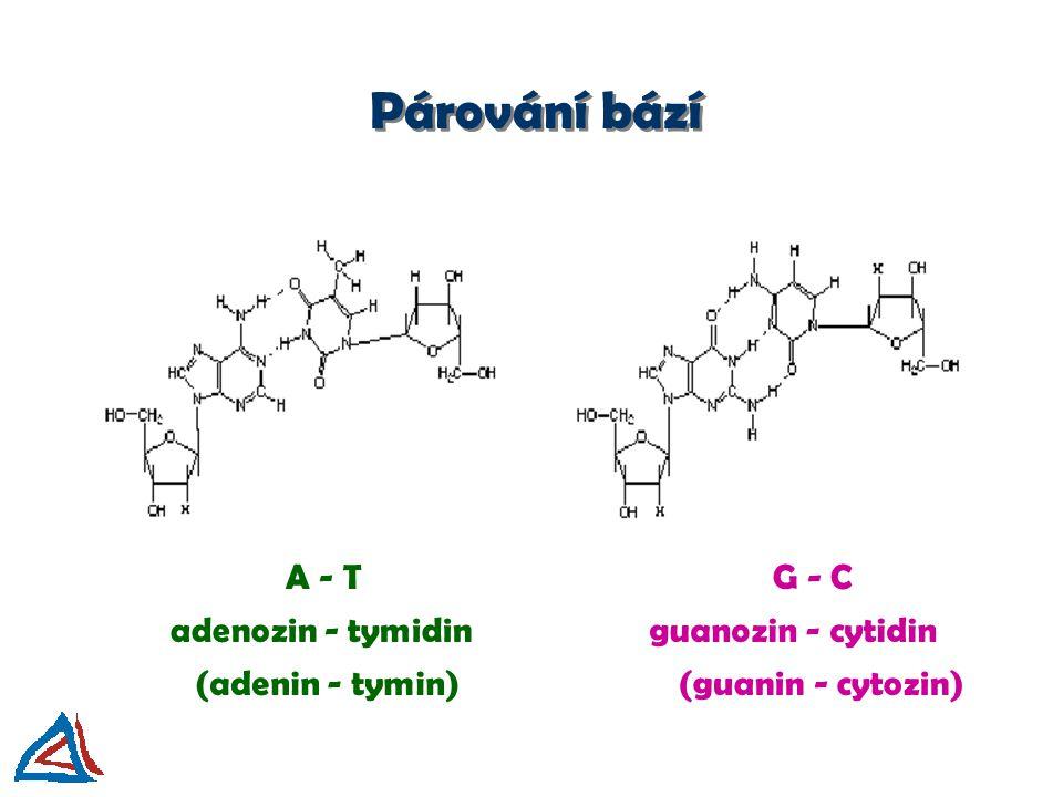 Párování bází A - T G - C adenozin - tymidin guanozin - cytidin
