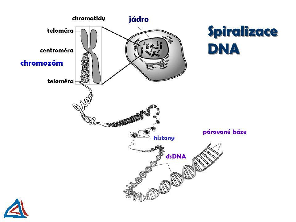 Spiralizace DNA jádro chromozóm chromatidy teloméra centroméra