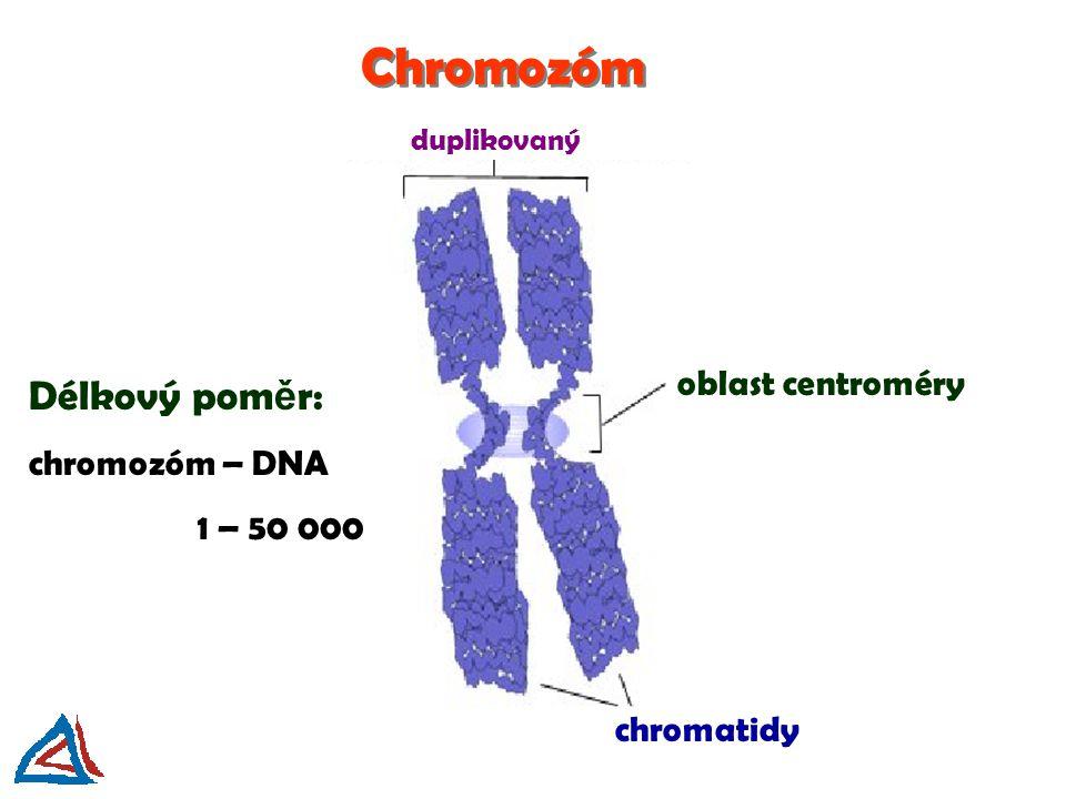 Chromozóm Délkový poměr: oblast centroméry chromozóm – DNA 1 – 50 000