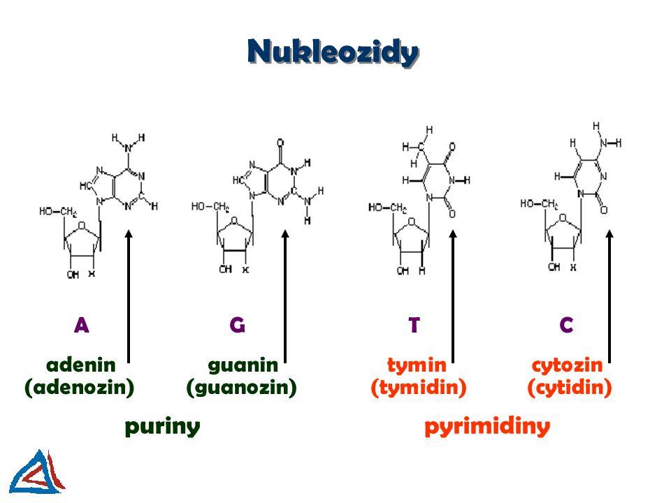Nukleozidy puriny pyrimidiny A G T C adenin guanin tymin cytozin