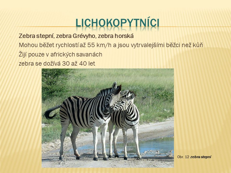Lichokopytníci Zebra stepní, zebra Grévyho, zebra horská