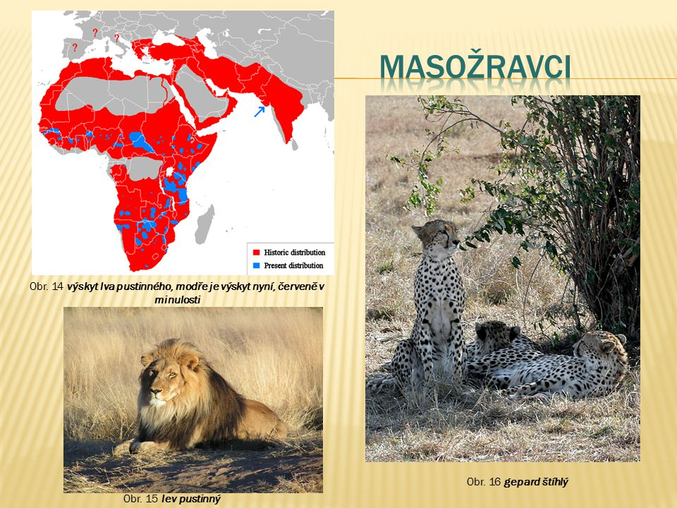 Masožravci Obr. 14 výskyt lva pustinného, modře je výskyt nyní, červeně v minulosti. Obr. 16 gepard štíhlý.