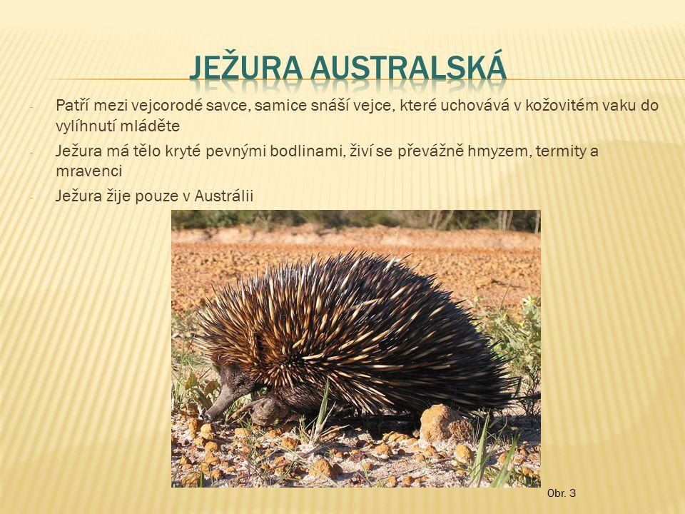 Ježura australská Patří mezi vejcorodé savce, samice snáší vejce, které uchovává v kožovitém vaku do vylíhnutí mláděte.