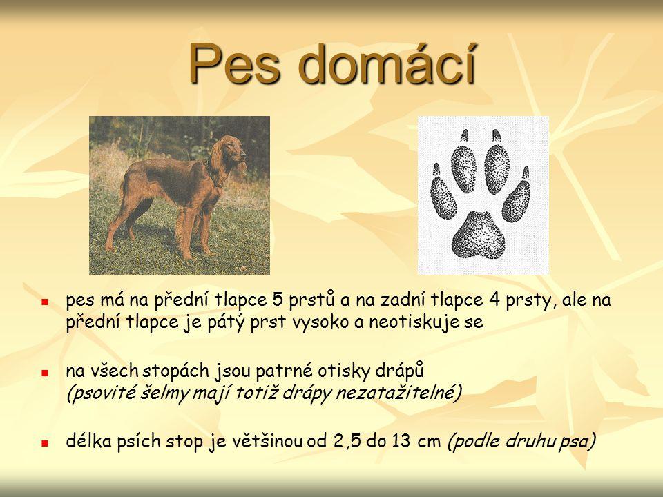 Pes domácí pes má na přední tlapce 5 prstů a na zadní tlapce 4 prsty, ale na přední tlapce je pátý prst vysoko a neotiskuje se.