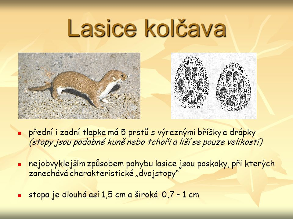 Lasice kolčava přední i zadní tlapka má 5 prstů s výraznými bříšky a drápky (stopy jsou podobné kuně nebo tchoři a liší se pouze velikostí)