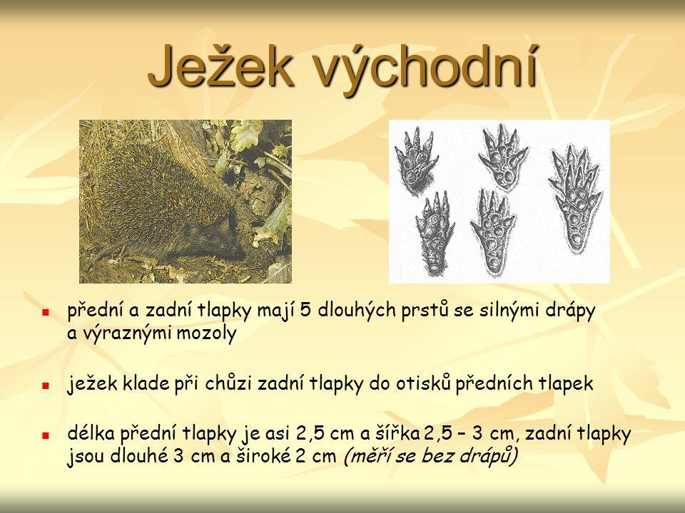 Ježek východní přední a zadní tlapky mají 5 dlouhých prstů se silnými drápy a výraznými mozoly.