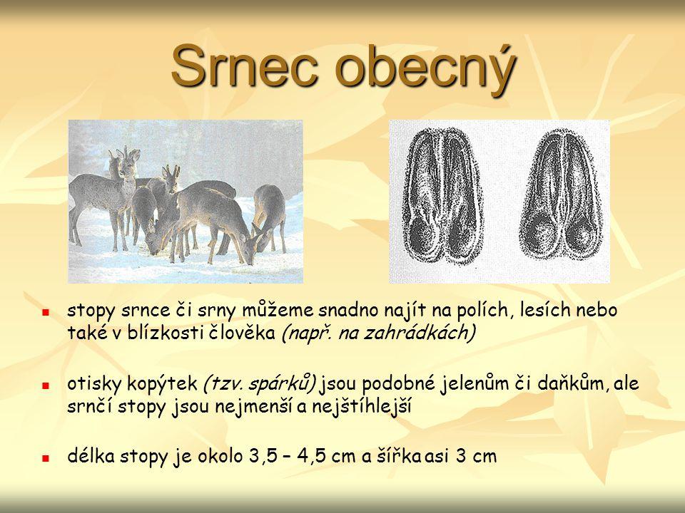 Srnec obecný stopy srnce či srny můžeme snadno najít na polích, lesích nebo také v blízkosti člověka (např. na zahrádkách)