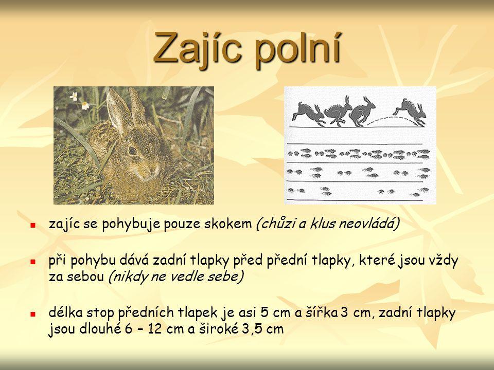 Zajíc polní zajíc se pohybuje pouze skokem (chůzi a klus neovládá)