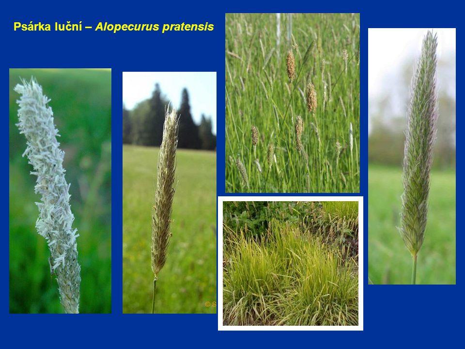 Psárka luční – Alopecurus pratensis