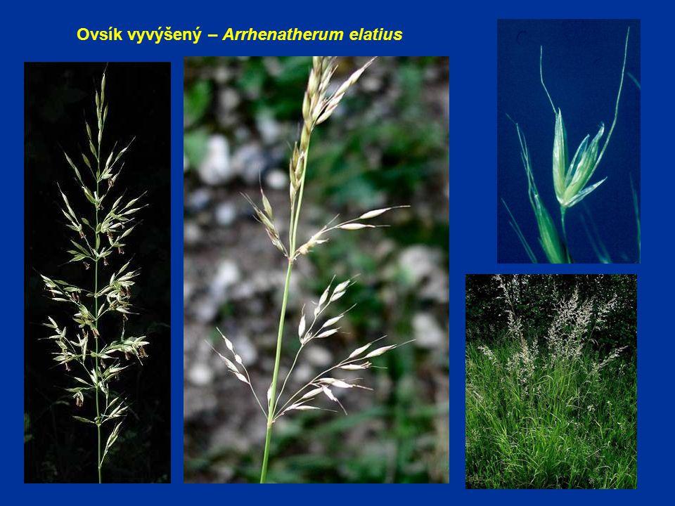 Ovsík vyvýšený – Arrhenatherum elatius