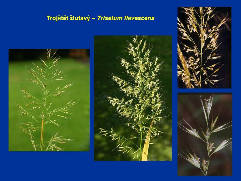 Trojštět žlutavý – Trisetum flavescens