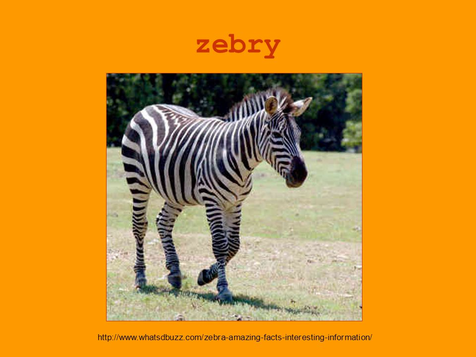 zebry http://www.whatsdbuzz.com/zebra-amazing-facts-interesting-information/