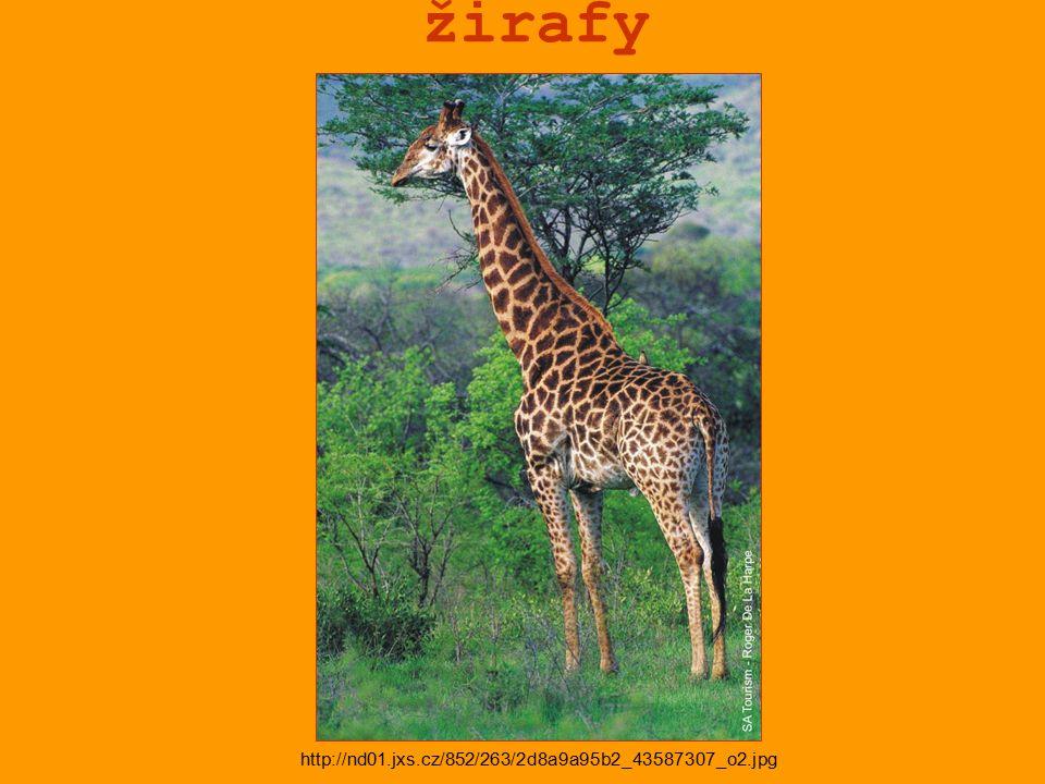 žirafy http://nd01.jxs.cz/852/263/2d8a9a95b2_43587307_o2.jpg