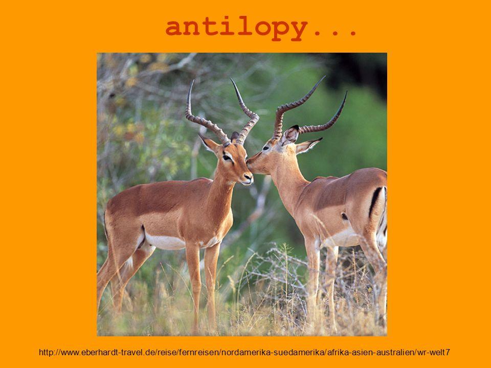 antilopy...