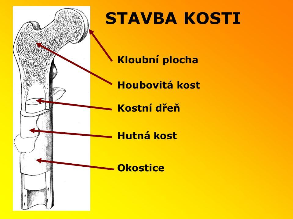 STAVBA KOSTI Kloubní plocha Houbovitá kost Kostní dřeň Hutná kost