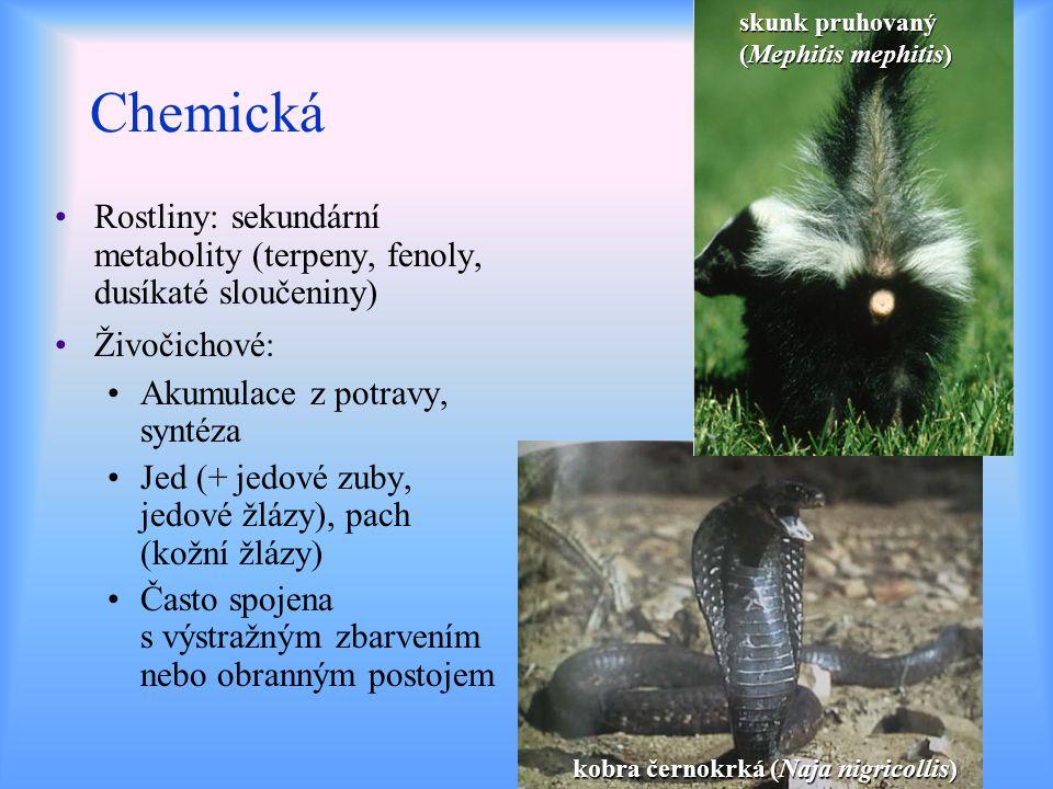skunk pruhovaný (Mephitis mephitis)