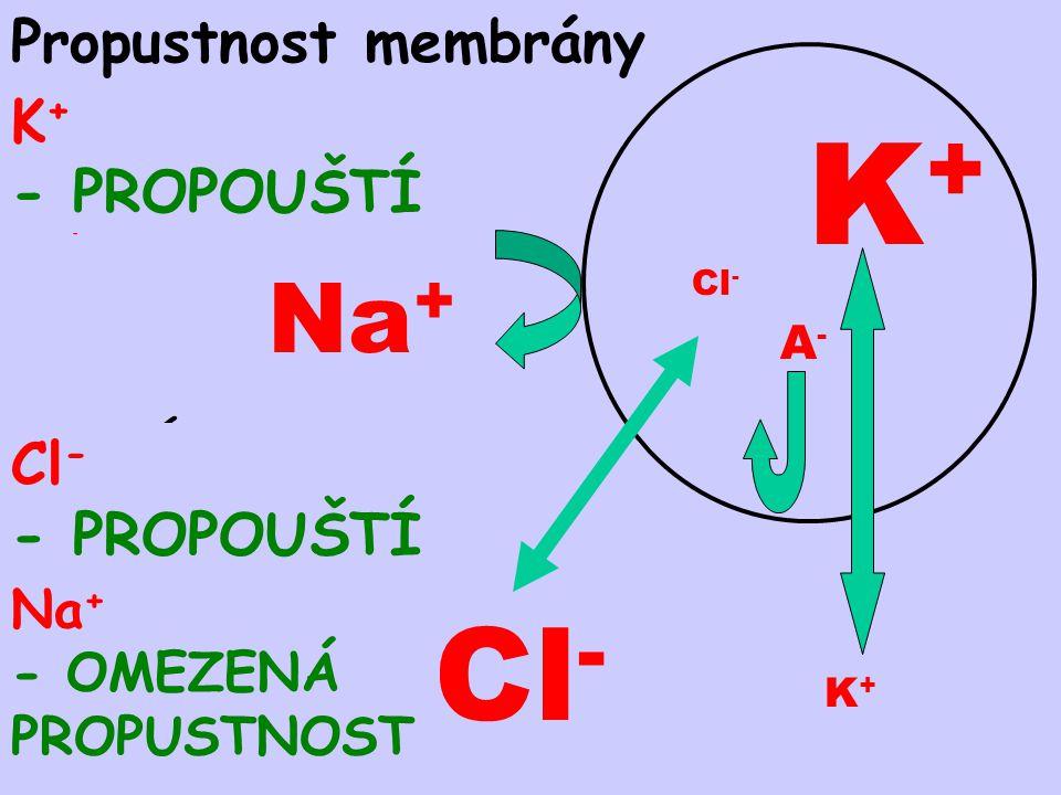 K+ Na+ Propustnost membrány K+ - PROPOUŠTÍ Cl- - PROPOUŠTÍ