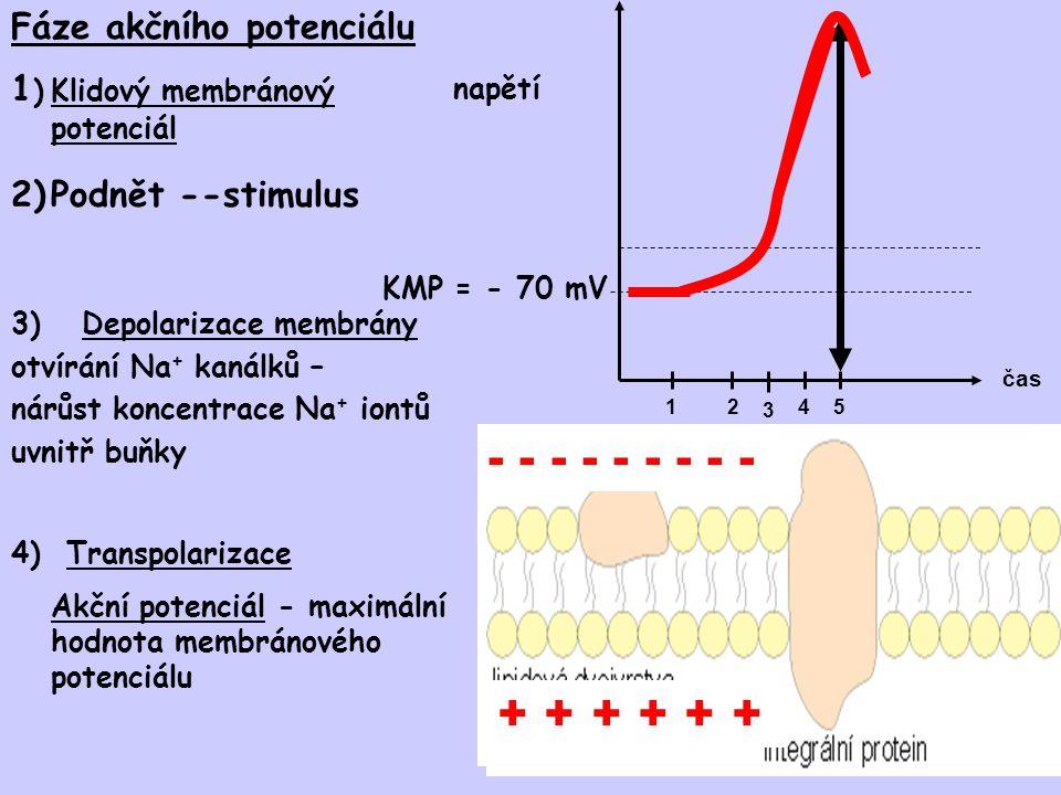 - - - - - - - - - + + + + + + Fáze akčního potenciálu