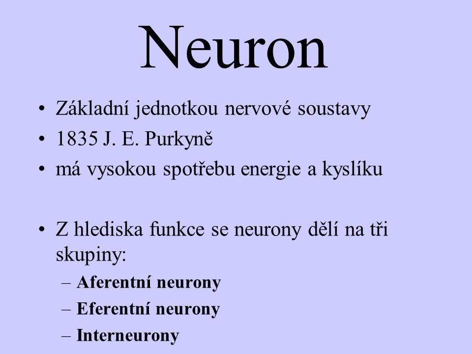 Neuron Základní jednotkou nervové soustavy 1835 J. E. Purkyně