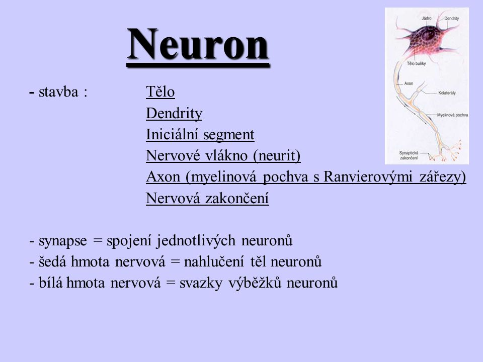 Neuron - stavba : Tělo Dendrity Iniciální segment