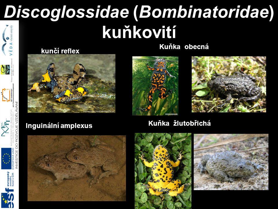 Discoglossidae (Bombinatoridae) kuňkovití