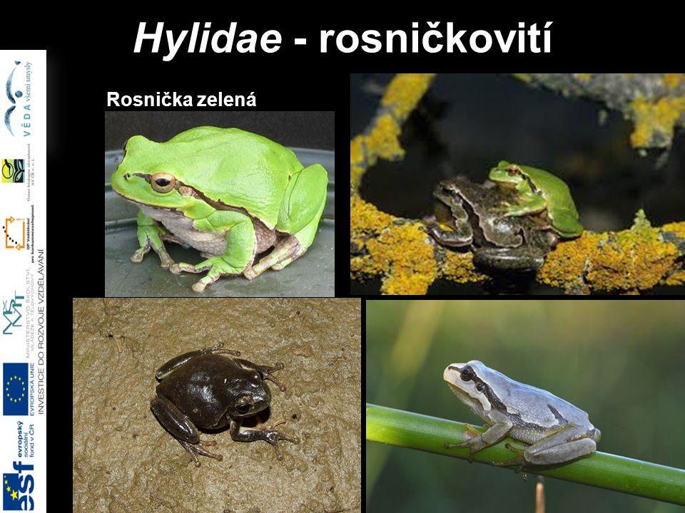 Hylidae - rosničkovití