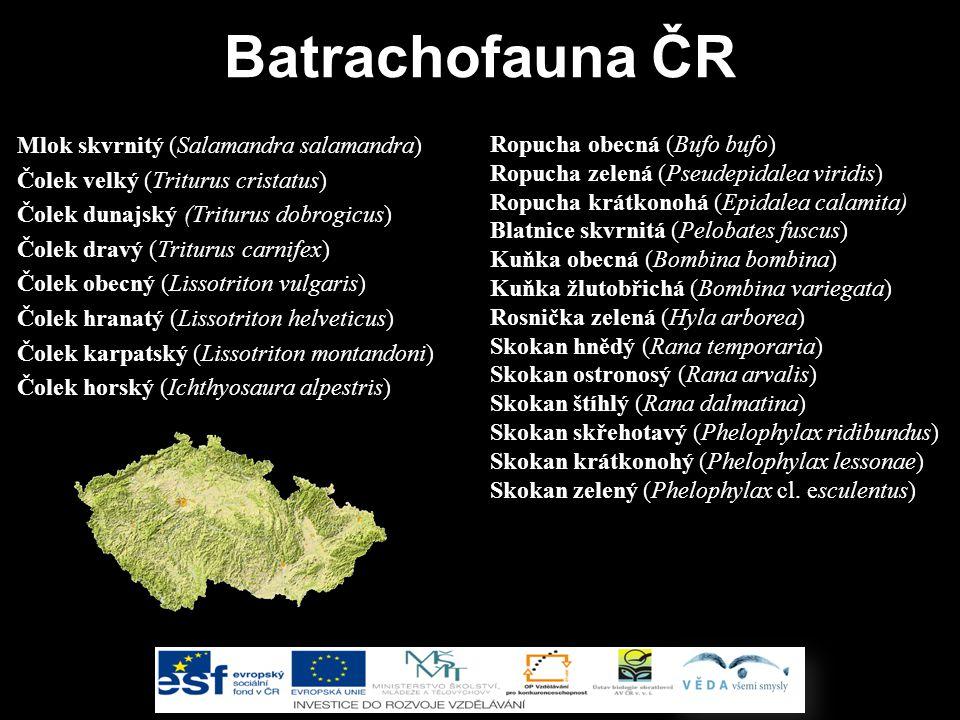 Batrachofauna ČR Ropucha obecná (Bufo bufo)