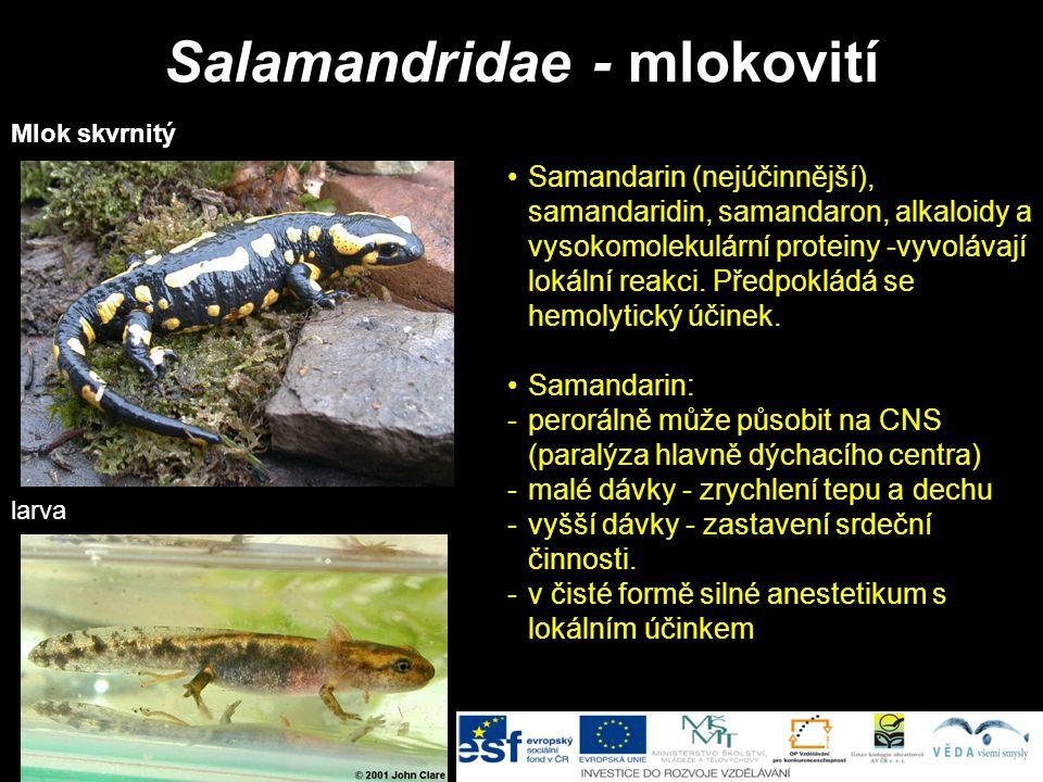 Salamandridae - mlokovití