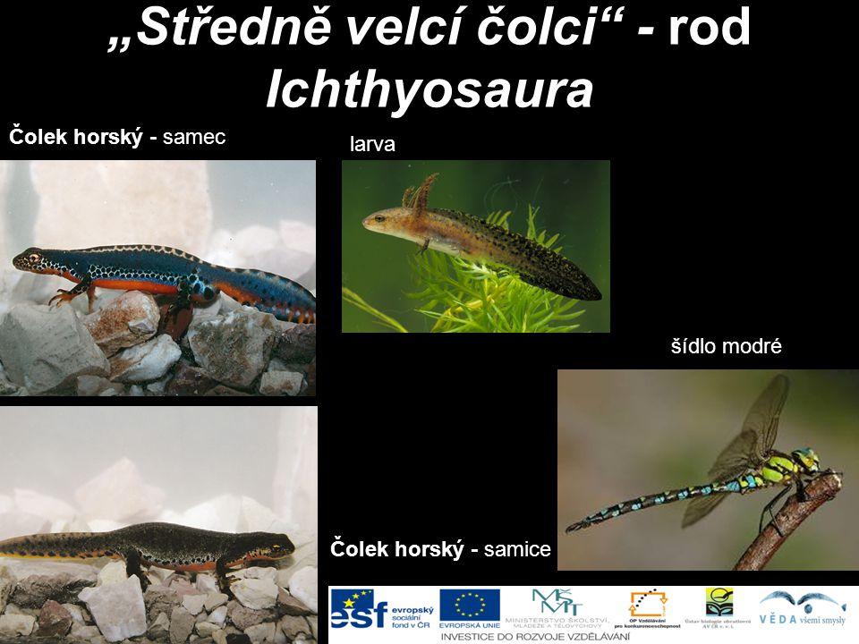 """""""Středně velcí čolci - rod Ichthyosaura"""