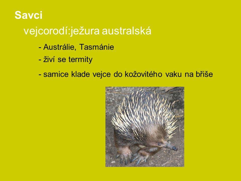 vejcorodí:ježura australská - Austrálie, Tasmánie