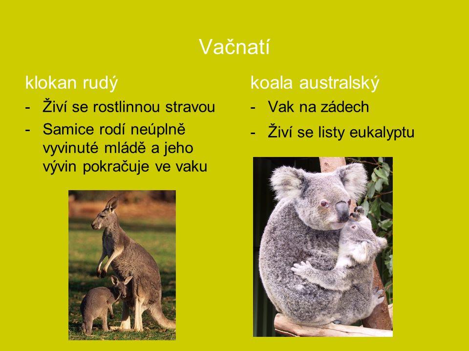 Vačnatí klokan rudý koala australský Živí se rostlinnou stravou
