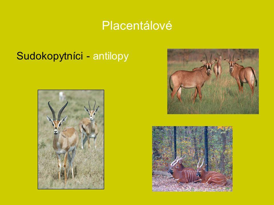 Placentálové Sudokopytníci - antilopy