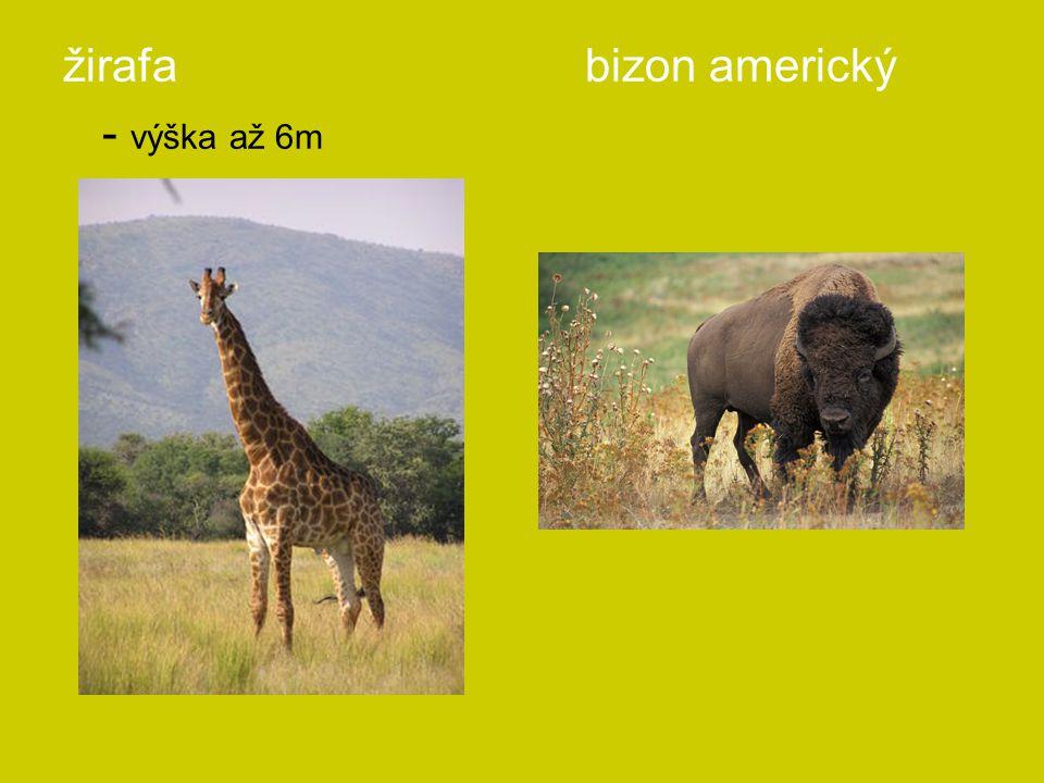 žirafa bizon americký - výška až 6m
