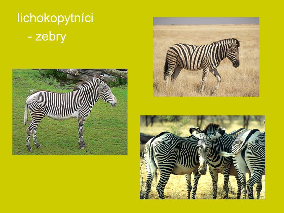 lichokopytníci - zebry