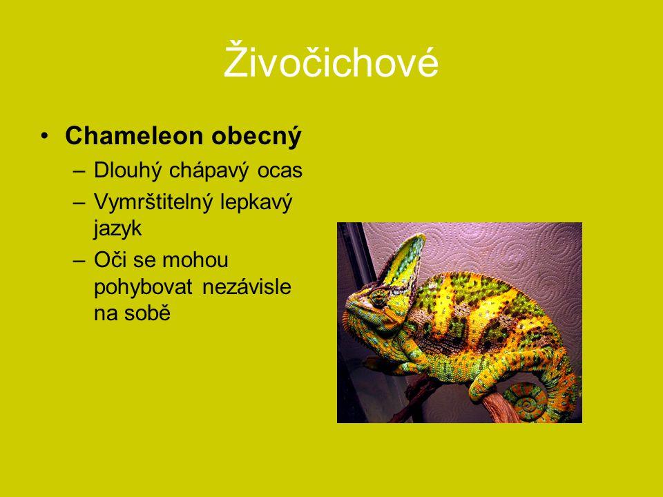 Živočichové Chameleon obecný Dlouhý chápavý ocas