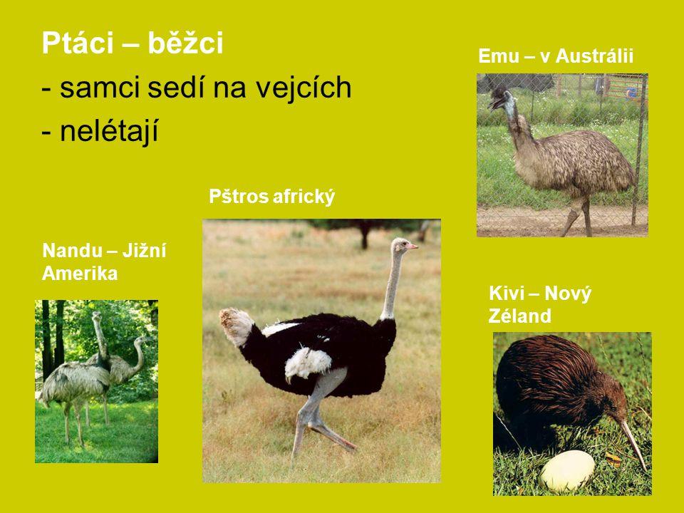 Ptáci – běžci - samci sedí na vejcích - nelétají Emu – v Austrálii
