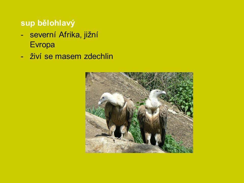 sup bělohlavý severní Afrika, jižní Evropa živí se masem zdechlin