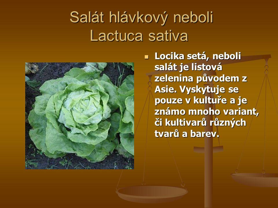 Salát hlávkový neboli Lactuca sativa