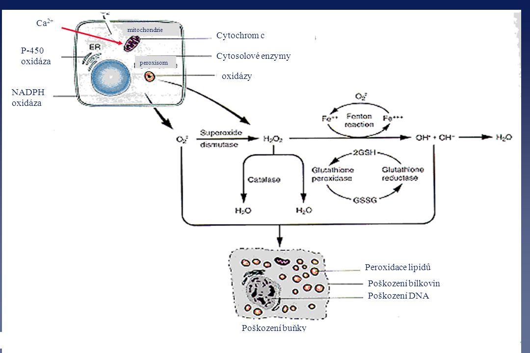 Ca2+ Cytochrom c P-450 oxidáza Cytosolové enzymy oxidázy NADPH oxidáza