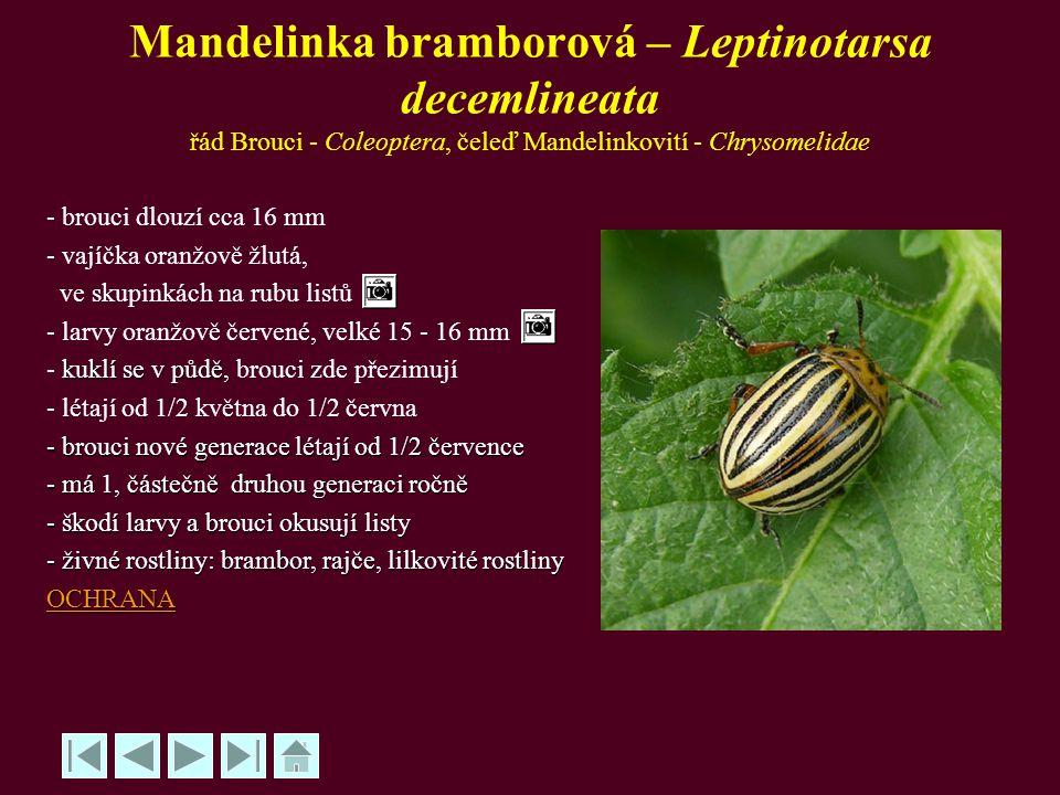 Mandelinka bramborová – Leptinotarsa decemlineata řád Brouci - Coleoptera, čeleď Mandelinkovití - Chrysomelidae