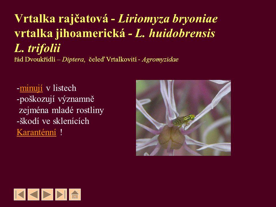 Vrtalka rajčatová - Liriomyza bryoniae vrtalka jihoamerická - L