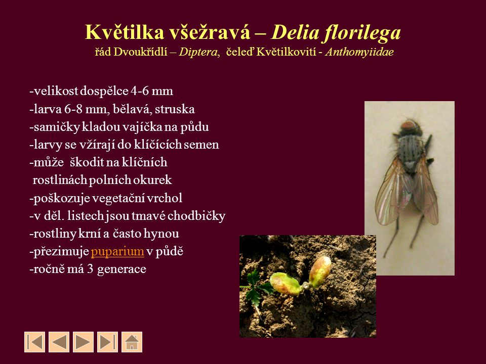 Květilka všežravá – Delia florilega řád Dvoukřídlí – Diptera, čeleď Květilkovití - Anthomyiidae