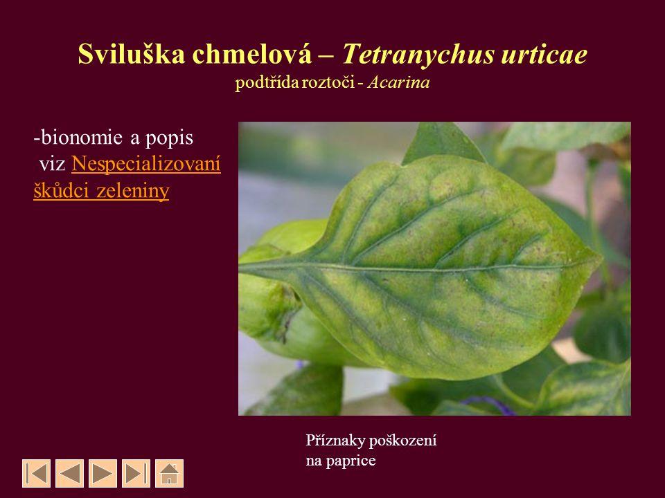 Sviluška chmelová – Tetranychus urticae podtřída roztoči - Acarina