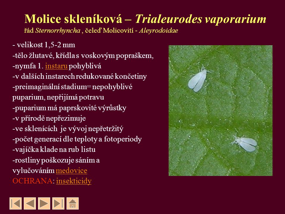 Molice skleníková – Trialeurodes vaporarium řád Sternorrhyncha , čeleď Molicovití - Aleyrodoidae