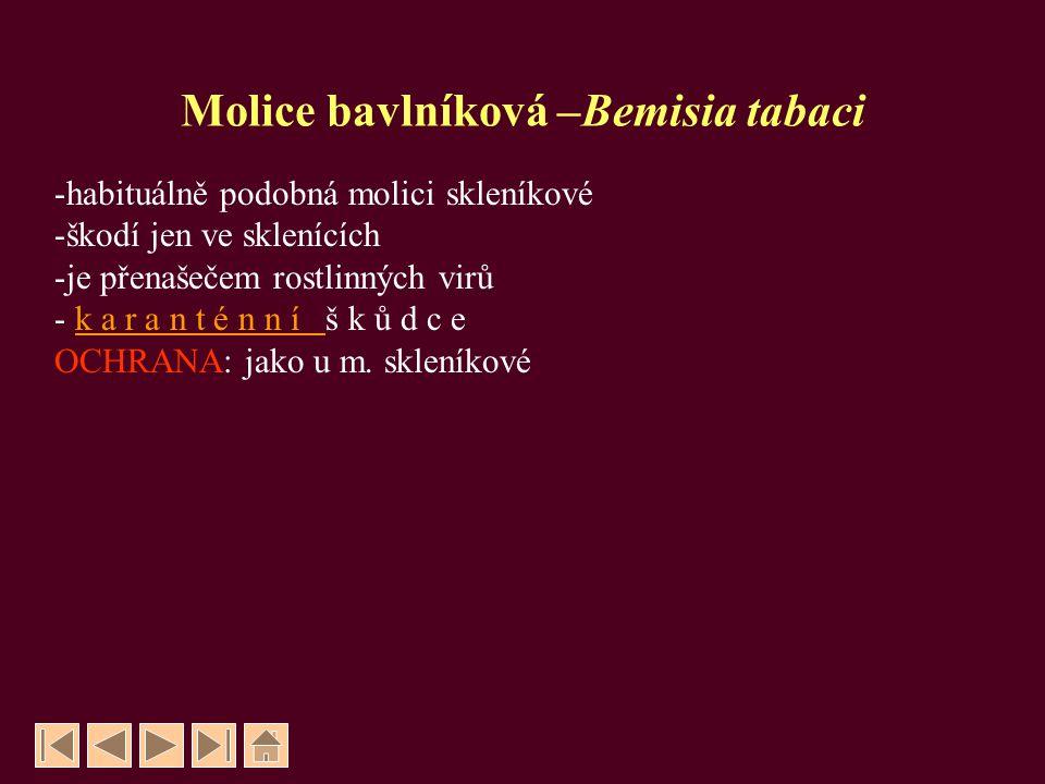 Molice bavlníková –Bemisia tabaci
