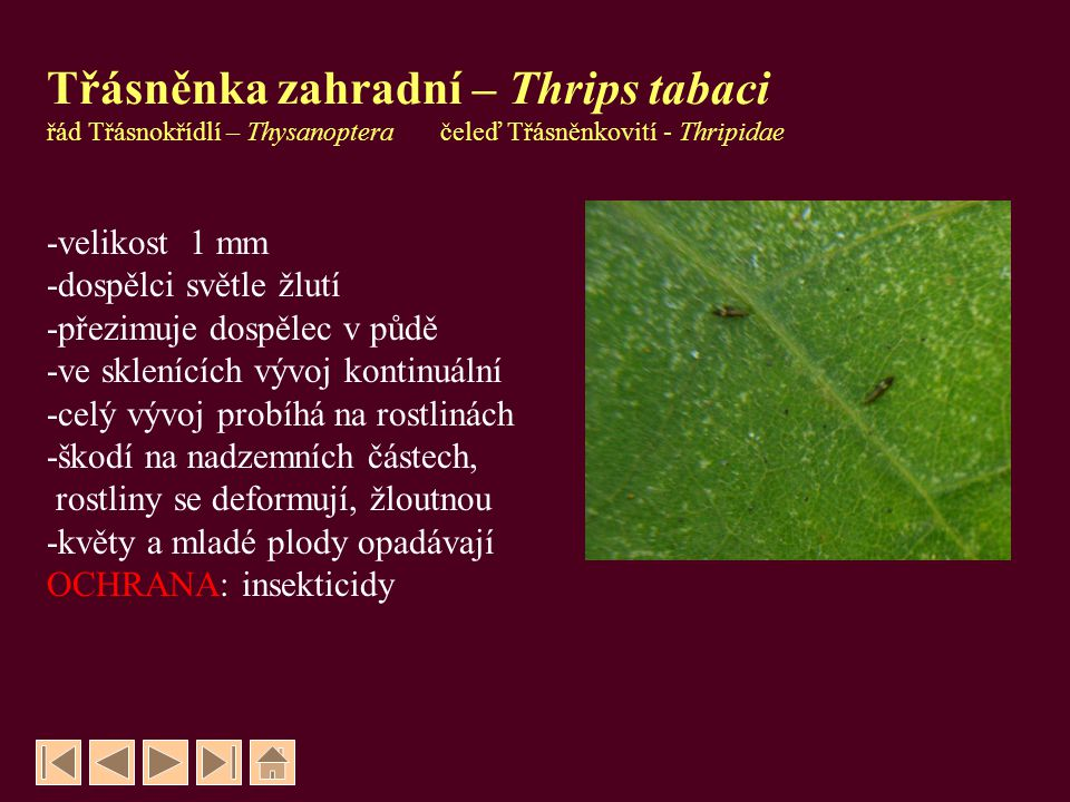 Třásněnka zahradní – Thrips tabaci řád Třásnokřídlí – Thysanoptera čeleď Třásněnkovití - Thripidae