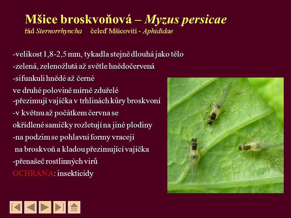 Mšice broskvoňová – Myzus persicae řád Sternorrhyncha čeleď Mšicovití - Aphididae