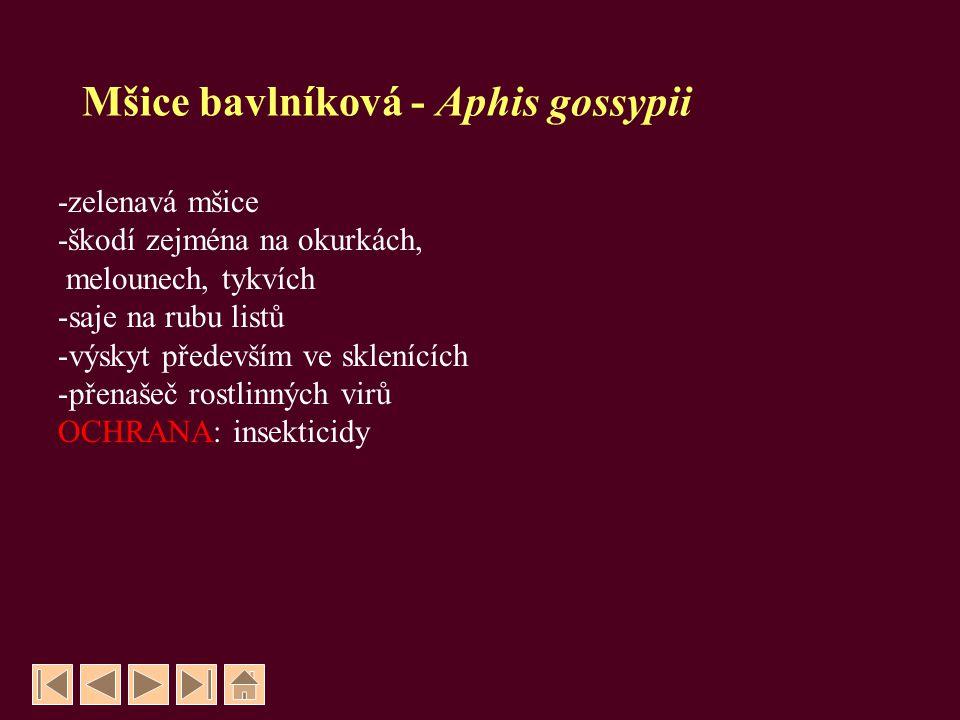 Mšice bavlníková - Aphis gossypii