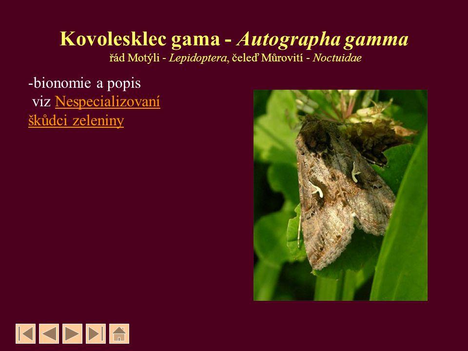 Kovolesklec gama - Autographa gamma řád Motýli - Lepidoptera, čeleď Můrovití - Noctuidae